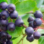 acai-berry-fruit