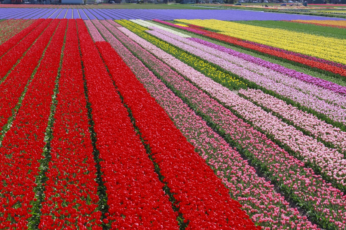 keukenhof-lisse-netherlands-if-you-want-to-see-the-most-beautiful-display-of-flowers-youll-ever-see-in-your-life-then-keukenhof-is-the-way-to-go